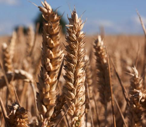 Le secret du pain bio, à base de farine de levain bio.